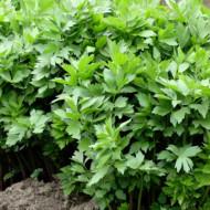 Leustean (ghiveci 10,5 cm), planta aromatica si medicinala Levisticum officinalis