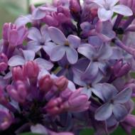 Liliac General Pershing, arbust ornamental cu flori de culoare mov-violet deschis, grupate in buchete conice, foarte parfumate, Yurta