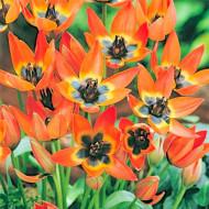 Little Princess (7 bulbi), lalele pitice portocalii, bulbi de flori