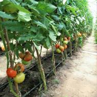 Macsin F1 (50 seminte), Seminte tomate cu crestere nedeterminata, Hazera Genetics