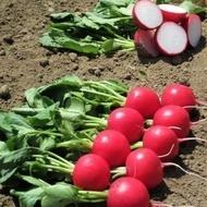 Melito F1 (10.000 seminte) ridichi de luna cu bulbi uniformi, rosii stralucitori, rezistenti la crapare, Hazera
