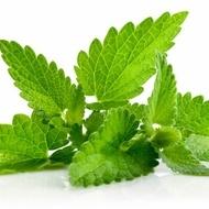 Menta - 0.01 gr - Seminte de Menta Plante Aromatice si Medicinale de la Mefim Agro Romania