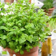 Menta (ghiveci 10,5 cm), rasad planta aromatica Mentha