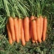 Monanta - 250 grame - Seminte de morcovi cu o perioada de vegetatie de 95-100 de zile si o dimensiune a radacinilor de 18-20 cm lungime ce se preteaza consumului in stare proaspata industrializarii si vanzarii la legatura de la Rijk Zwaan