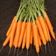 Napa F1 - 25.000 sem - Seminte de morcovi orange (calibru seminte < 2.0 mm) tip Nantes recomandat pentru zonele cu climat temperat de la Bejo