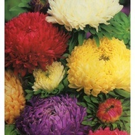 Ochiul Boului Paeonia Mix - 150 sem - Seminte Flori Anuale Ochiul Boului Paeonia de la Florian