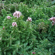 Origanum vulgare Compactum (ghiveci 1 l), oregano peren ramuri bogate