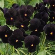 Pansele NEGRE  - Seminte Flori Panselute Negre de la Florian