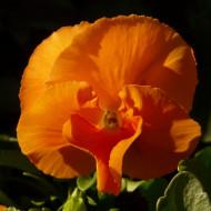 Panselute portocalii (0.15 gr) seminte de panselute, flori mici, 25 cm, Horti Tops