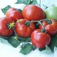 PARRIS F1 - 1000 sem - Seminte de Tomate Extra-timpurii de la Geosem Select Bulgaria