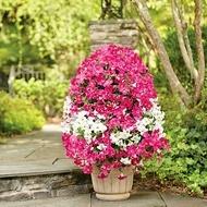 Petunia Curgatoare Cascada Hibrid - Seminte Flori Petunia Cascada de la Florian
