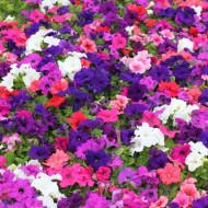 Petunie pitica mix (0,2 g), seminte de petunii pitice pentru jardiniere si ghivece, in diferite culori, Opal