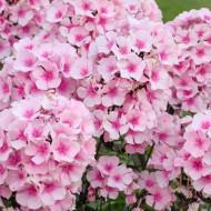 Phlox paniculata Famous Pink Dark Eye (ghiveci 1 l), plante perene, flori mari culoare roz luminos si roz inchis