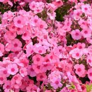 Phlox paniculata Light Pink Flame (ghiveci 1 l), plante perene cu flori mari roz stralucitor