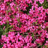 Phlox subulata Atropurpurea (in ghiveci de 1 L), rasad de brumarele taratoare cu flori de culoare roz aprins