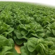 Presteria - 1000 sem - Seminte drajate de salata ce formeaza capatani de marime medie si greutate intre 400-600 de grame ce se preteaza mai ales culturilor hidroponice de la Rijk Zwaan