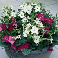 Regina noptii pitica (0.2 grame) seminte de flori, mixtura, Agrosem