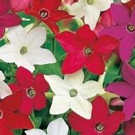 Regina noptii - Seminte flori Regina noptii Nicotina x Sanderare de la Florian