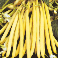 Rocquencourt (50 gr) seminte de fasole pitica galbena fideluta, adaptabilitate excelenta, Agrosem