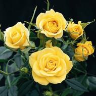 Rosa Mini Yellow (ghiveci 1,5 l), trandafir pitic cu flori galbene
