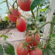 Rose Pear (40 seminte) rosii in forma de para, culoarea purpuriu, soi heirloom, productiv, Ukraina