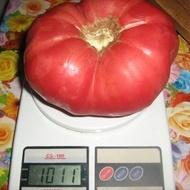 Rozova Maghia (Magie Roz) seminte toamte Roz (0.2 gr) Soi Gigant, Opal Bulgaria