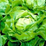 Salata capatana Meteore (5000 seminte), seminte drajate de salata verde inchis, Syngenta