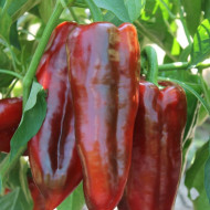 Seminte ardei lung Alexandru (1 g), tip kapia, Agrosel