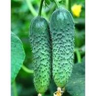 Seminte castraveti Merengue F1 (250 seminte), tip cornichon, Seminis