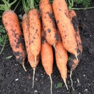 Seminte morcovi Lorianna F1 (100.000 seminte), cal.1,6-1,8mm, agroTIP