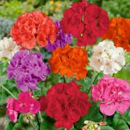 Seminte Muscata Mix (0,05 g) seminte de flori muscata mix, City Garden