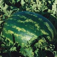 Seminte pepene verde Eletta F1 (1000 seminte), foarte dulce, De Ruiter Seeds