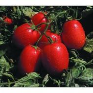 Seminte rosii Franco F1 ISI 23159 (1000 seminte), rosii ovale, Isi Sementi