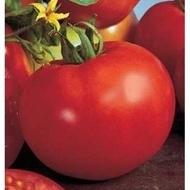 Seminte rosii Marissa F1 (1000 seminte), crestere nedeterminata, Seminis