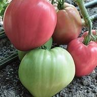 Seminte rosii Rozov Dar (250 seminte), tip Inima de Bivol Gigant Dar Roz, Florian