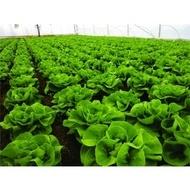 Seminte salata Centore F1 (5000 seminte), capatani grele si indesate cu frunze netede, Syngenta