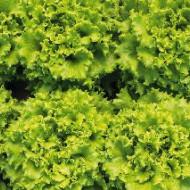 Seminte salata creata Lianabel (5000 seminte),  Bejo Zaden