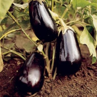 Seminte vinete Alexandra (3000 seminte), soi semitimpuriu, Agrosel