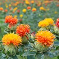 Sofranas (1 kg), seminte de planta anuala medicinala, flori portocalii pentru colorarea alimentelor, Agrosem