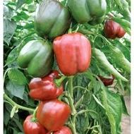 Sondela F1 - 100 sem - Seminte de ardei gras semitimpuriu pentru sere si solarii culoare verde inchis -rosu de la Rijk Zwaan