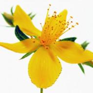 Sunatoare Medicinala (0.5 gr) Seminte de Sunatoare Plante Medicinale de la Opal