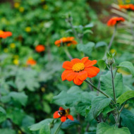 Tithonia (0.8 grame) seminte de flori portocalii inalte si voluminoase, Agrosem