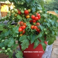 Tomatele cherry Tiny Tim - 45 sem - Seminte Tomatele cherry Tiny Tim tip Cireasa