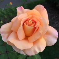 Trandafir Animo (1 butas), trandafir cu flori spectaculoase roz-portocalii, butasi de trandafiri