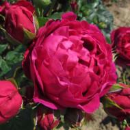 Trandafir Ascot (1 butas in ghiveci 2 l) cu flori asemanatoare bujorilor, globulare, compacte, colorate in rosu inchis, butasi de trandafiri Tantau