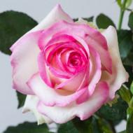 Trandafir Biedermeier Garden (1 butas in ghiveci 2 l) cu flori batute, intr-o combinatie extraordinara de roz cu alb, butasi de trandafiri Tantau