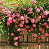 Trandafir catarator roz, (1 butas) de trandafiri urcatori cu inflorire repetata, parfum discret si flori mari, de culoare roz luminos, Yurta