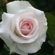 Trandafir catarator Swan Lake, 1 butas de trandafir urcatori in ghiveci 2 l cu inflorire repetata, cu flori bogate, parfumate, intr-o nuanta fina de roz, Yurta