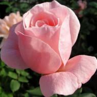 Trandafir England (1 butas), trandafir roz, butasi de trandafiri