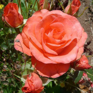 Trandafir Orange Rose (1 butas), trandafir cu flori superbe roz-portocalii, butasi de trandafiri